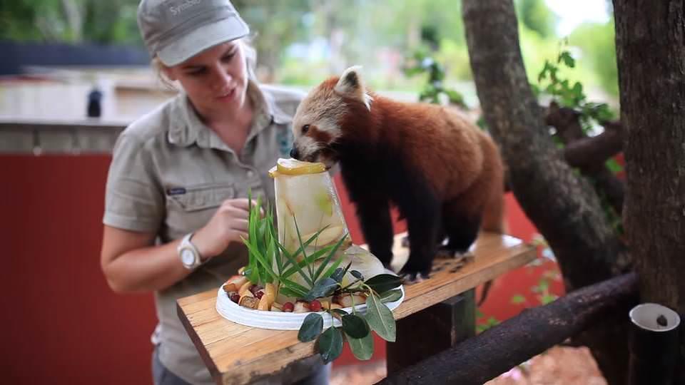 Красная панда празднует день рождения