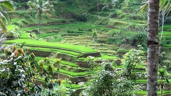 рисовые террасы Бали