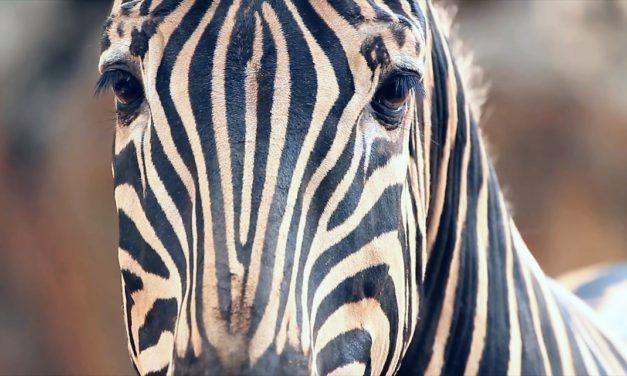 Зибра – красивая лошадка с полосками на шкуре